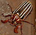 Lined June Beetle - Polyphylla - male