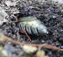 Beetle digging - Lytta aenea? - Lytta aenea - female