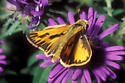 Skipper Butterfly - Hylephila phyleus