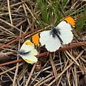 Pieridae: Anthocharis julia - Anthocharis julia - male - female