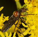 Unknown Diptera - Dilophus - male