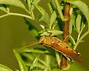 Grasshopper - Schistocerca alutacea - male