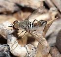 Bee fly - Epacmus