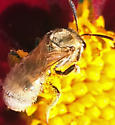 Small pale golden bee on Coreopsis - Lasioglossum - female