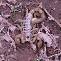 Scorpion - Paruroctonus boreus