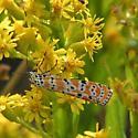 Bella Moth (Utetheisa ornatrix bella) - Utetheisa ornatrix