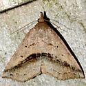 Lost Owlet - Ledaea perditalis