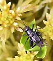 Neonemobius?? - Neonemobius palustris - male