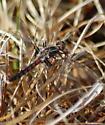Sely's Sundragon ( H.selysii ) ? - Ladona deplanata