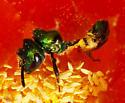 green Halictidae - Augochlorella pomoniella
