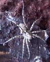 Crab Spider - Pardosa xerampelina