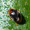 Dusky Lady Beetle - Scymnus