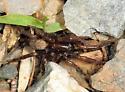 Spider - Arctosa