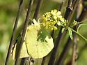sulphur butterfly - Zerene cesonia