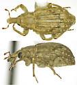 weevil 7 - Lissorhoptrus oryzophilus