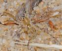 small beach wolf spider - Arctosa littoralis