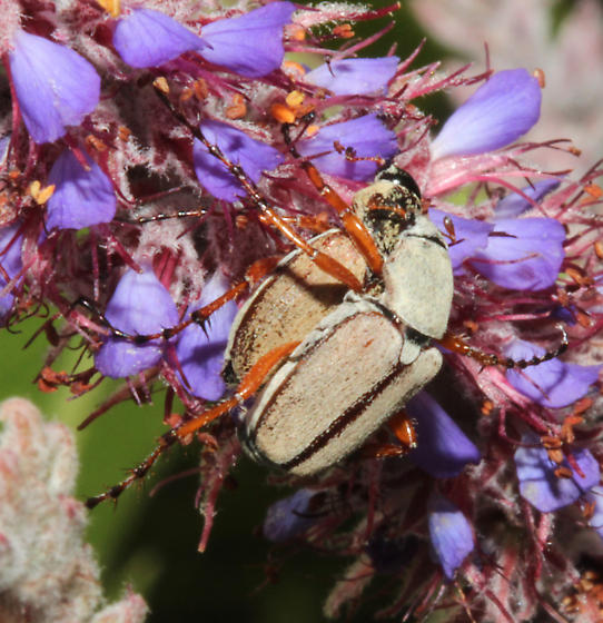 Rose Chafers, perhaps subspinosus - Macrodactylus - male - female