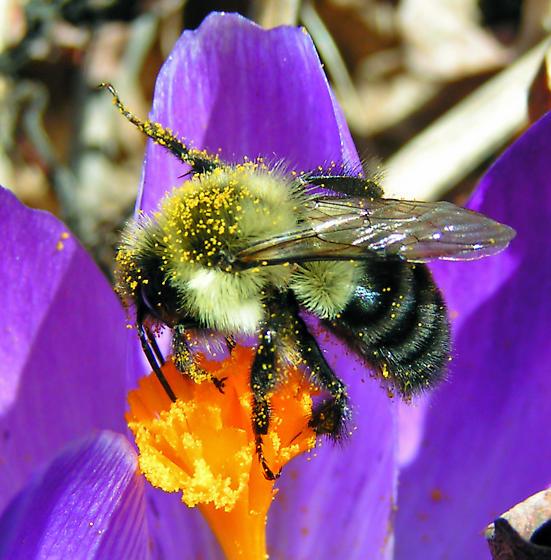 Worker Bumblebee - Bombus impatiens - female
