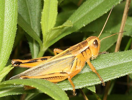 Orange Grasshopper - Melanoplus bivittatus - female
