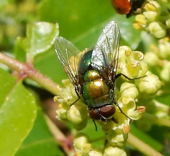 green fly 314 - Lucilia - male