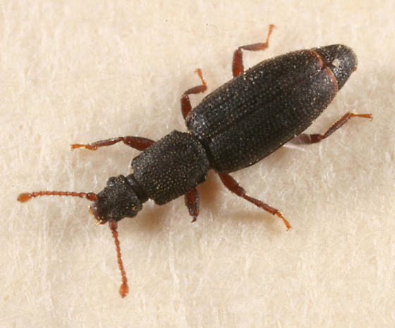 small beetle - Monotoma producta