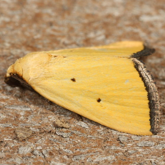 Yellow moth - Marimatha nigrofimbria