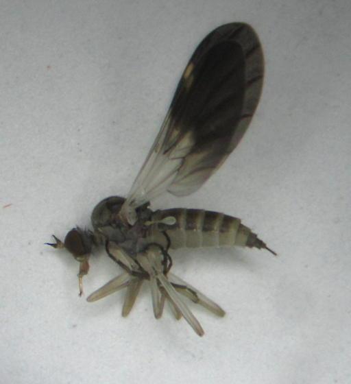 Rhamphomyia nasoni - female