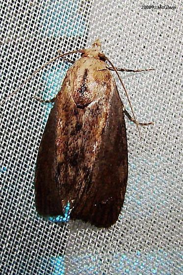 Moth Sept 13 h - Galleria mellonella
