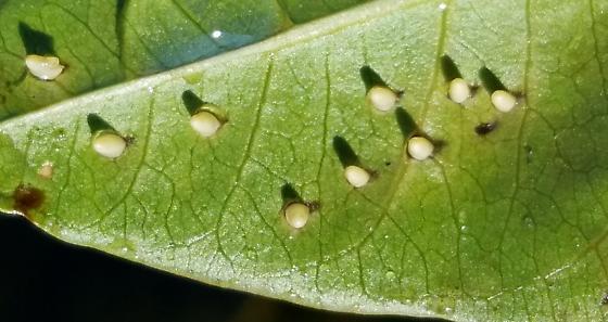Eggs on Persicaria coccinea - Ranatra
