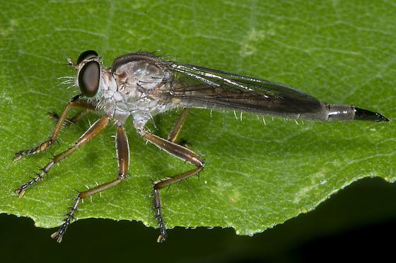 Unknown robber fly (Polacantha?) - Polacantha