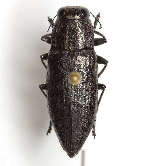 Spectralia robusta (Chamberlin) - Spectralia robusta