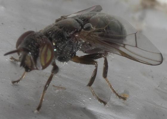 Bronze-colored fly - Senopterina