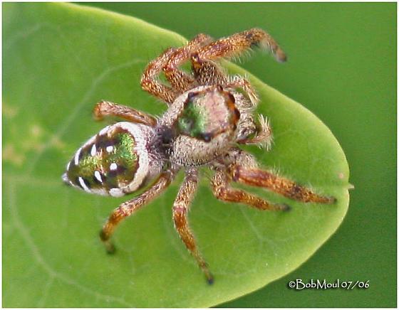 Jumping Spider - Paraphidippus aurantius