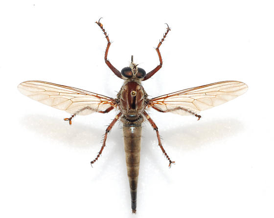 What species of Robber is this? - Proctacanthus gracilis - female