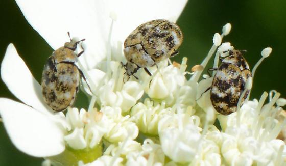 beetles on orleya - Anthrenus verbasci