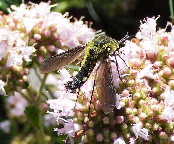 Lepidophora lutea  - Lepidophora lutea