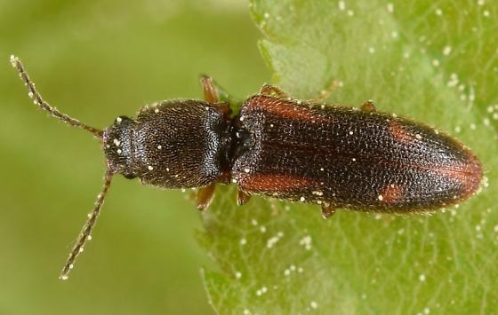 Click beetle - Athous ornatipennis