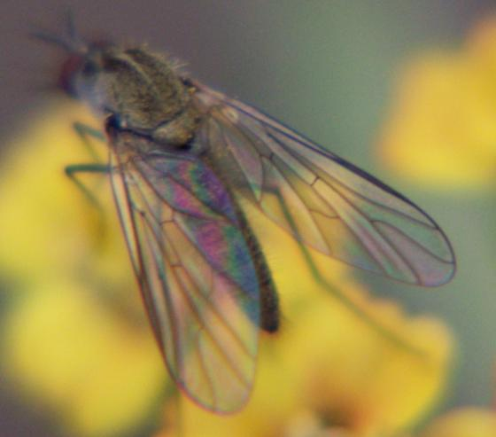 Bee fly ID - Geron