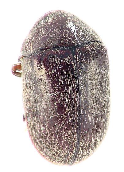 full tuck - Tricorynus