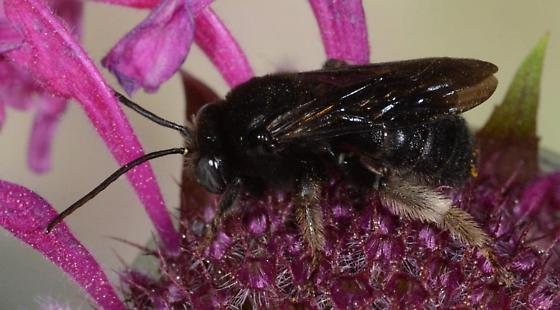 Two-spotted long-horned bee on Bee Balm - Melissodes bimaculatus - male