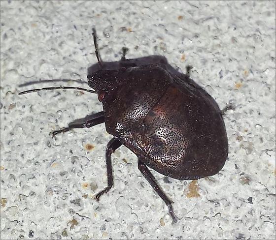 Shield-backed Bug? - Tetyra bipunctata