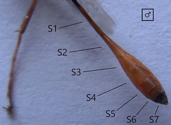 Sexing wasps in the genus Ammophila (abdominal sternites) - Ammophila - male