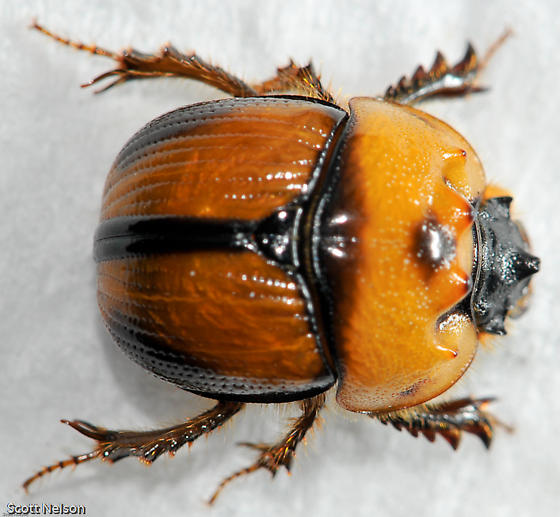 Colorful Dung Beetle - Bolbocerosoma tumefactum