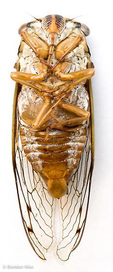 Megatibicen resh - male