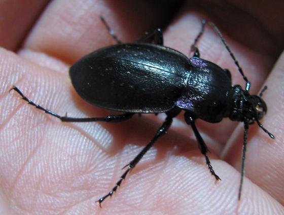 Dark Ground Beetle - Carabus nemoralis