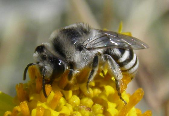 Bee 9  on Brittle Bush - Colletes