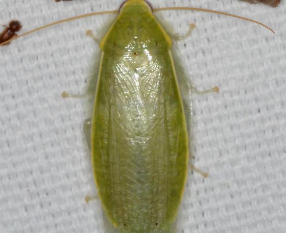 missing wings - Panchlora nivea