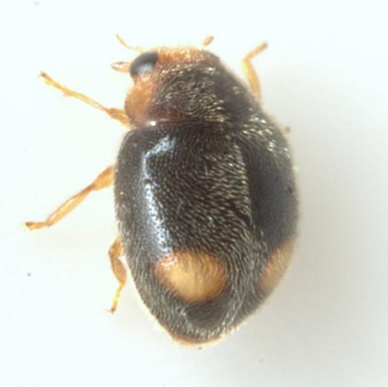 Nephus flavifrons (Melsheimer) - Nephus flavifrons