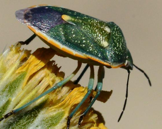 Green Purple Orange Stink Bug - Chlorochroa sayi