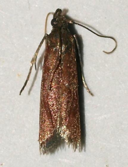 Micro Moth - Varneria postremella